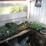 Coriander in potting shed