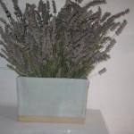 Lavender in vase