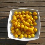 Yellow tomato haul