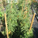 tomatoes on stakes aug 12