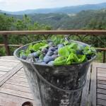 bucket o plums