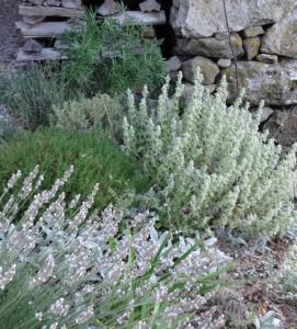 09 ballota white lavender