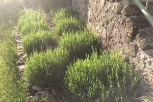The step garden – lavender to the rescue, again
