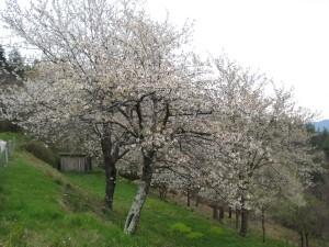 5 Cherry trees lower terrace