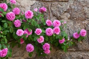 Recipe 6 roses