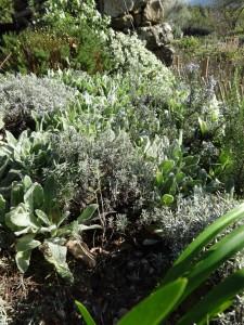 lavender pruning 1