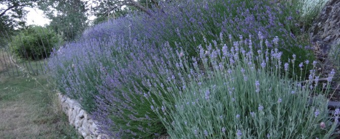 The lavender bank – designing with the best shrub