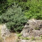 2013 pine growing