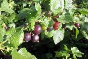 The heavenly gooseberry and a blackcurrant jam combination
