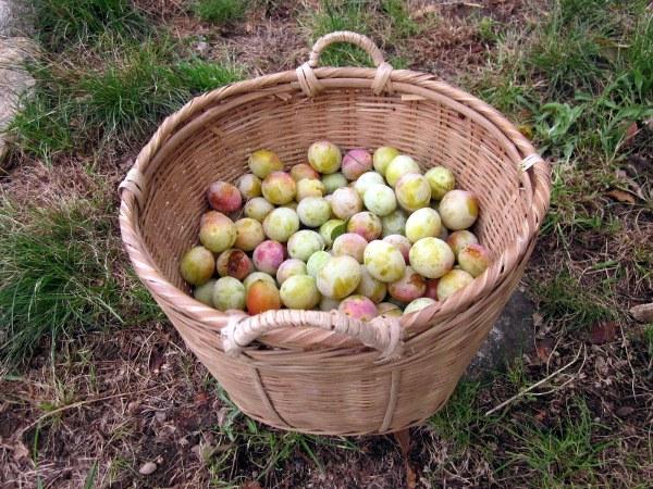 8 mirabelles in basket
