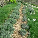 8 mulched lavender long