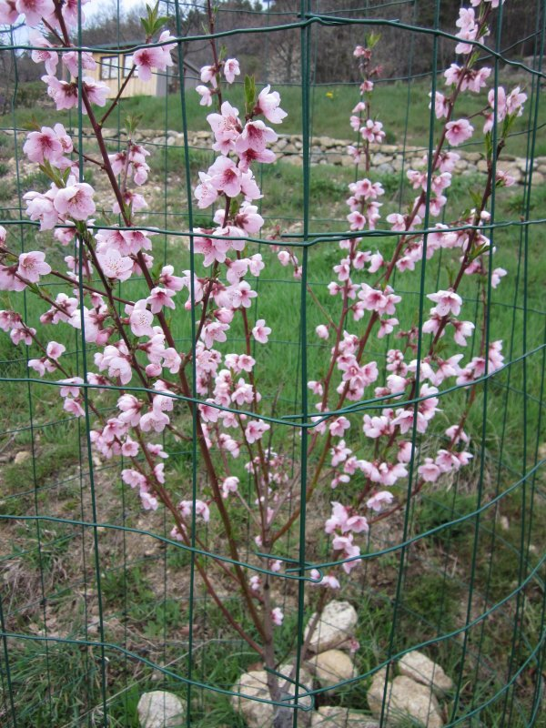 detail of apricot blossom