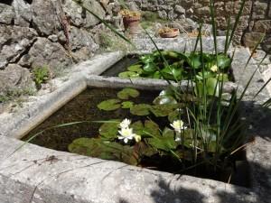 lilies flowering