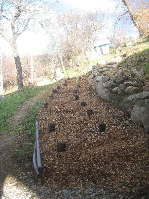 04 Eragrostis to plant