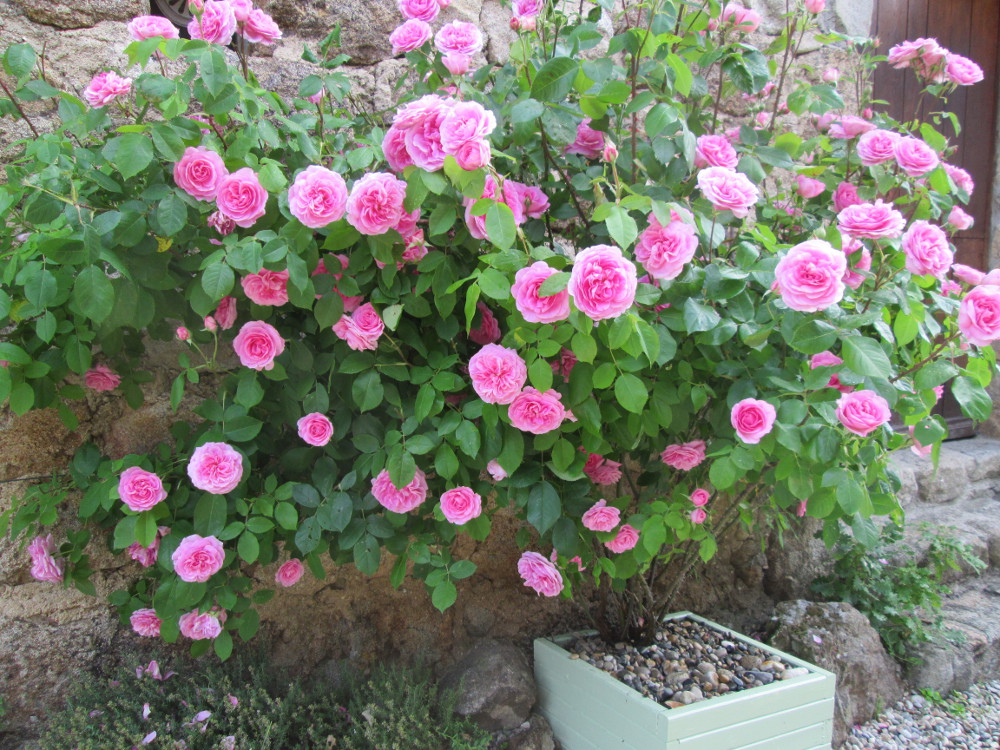 12013 roses