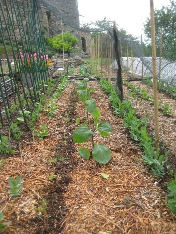 2010 aubergine planted