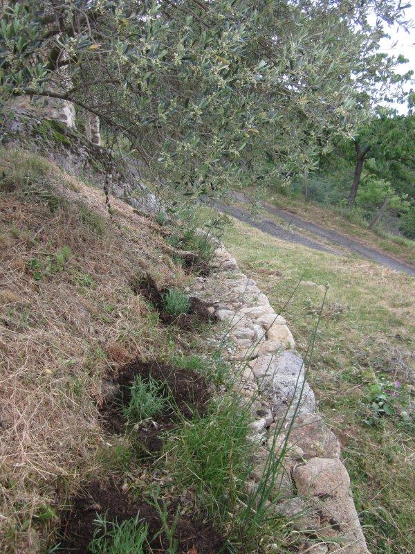 5 mulched lavender in olives