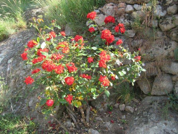 Courtyard roses june 08 1
