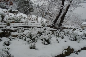 The perils of perennial plants in snow