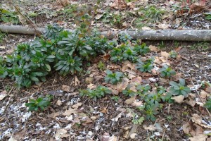 Transplanting euphorbia Robbiae