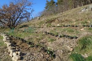 Mass planting gaura on the oak bank