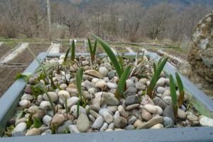 Storing dahlias over winter