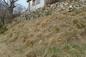 Cutting back the eragrostis grasses