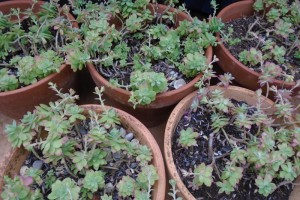 Determining dormant or dead among the overwintered plants