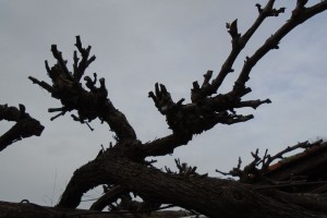 Winter pruning the grape vines