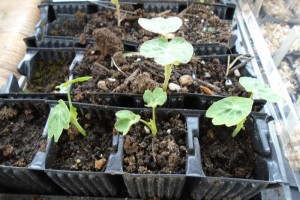 Vegetable and flower seedlings emerging
