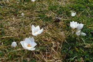 Springtime crocuses