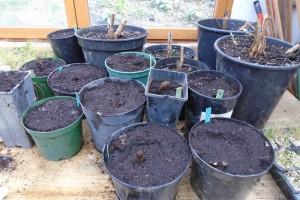 Planting lilies and dahlias