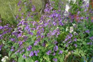 Harvesting lunaria annua in spring