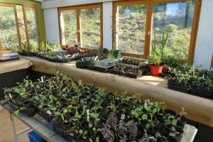Seedlings in the potting shed
