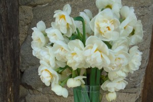 Narcissus bridal crown in a garden setting