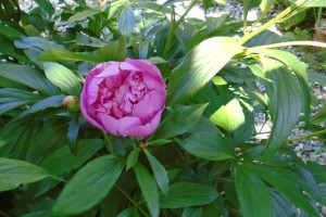 The first peony of spring