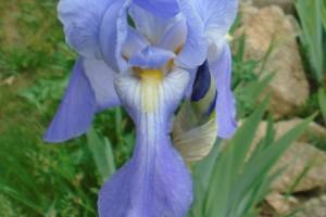 Successional iris flowering