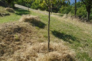 Mulching the orchard trees