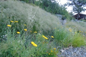 Replacing wildflowers with cultivated grasses