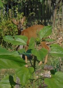 deerdetail
