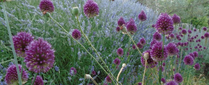 Drumstick alliums with lavender