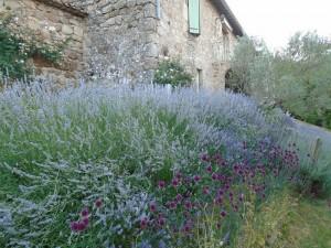 drumstick lavender