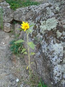 first sunflower