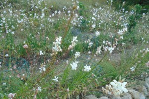 The gaura and grasses in summer