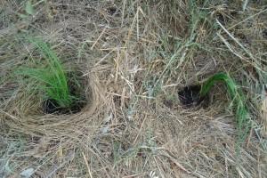 Planting grasses in summer
