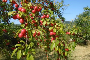 Gleaning fruit from abandoned orchards