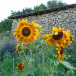 sunflowers garden1