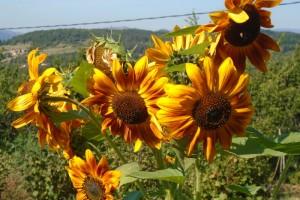 Sunflowers in the cutting garden