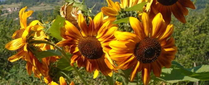 Sunflowers in the cutting garden
