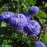 aster blue